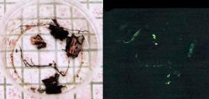 Echantillons de bois infecté et rhizomorphes luminescents.