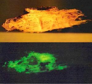 Les champignons luminescents et leurs surprenantes manifestations