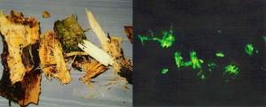 Bois luminescent provenant d'une souche de conifère infectée par l'armillaire